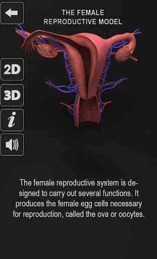 Female Reproductive System: Internal Organs 3D 1