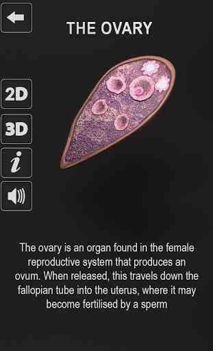 Female Reproductive System: Internal Organs 3D 4