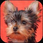 Best Yorkie Wallpaper Apps For Android Allbestapps